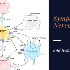 Influence of the Sympathetic Nervous System on Regulatory T cells