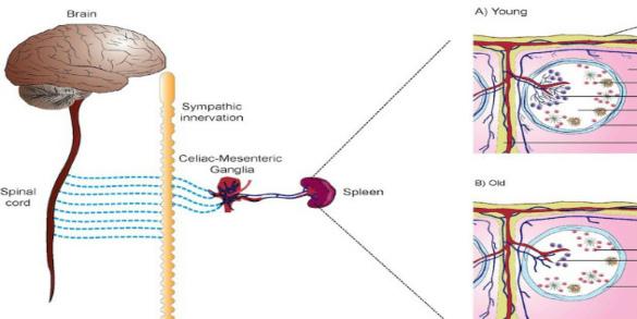 Neuro-Immune Senescence
