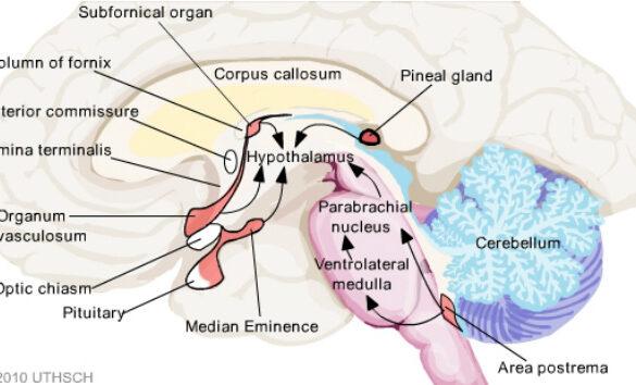 subfornical organ
