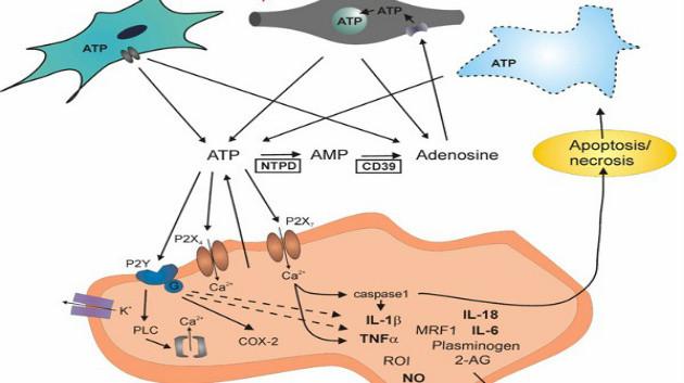 ATP as neuromediator figure