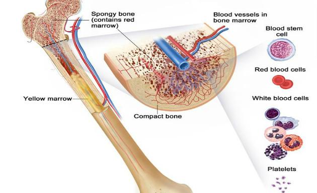 bone marrow and hematopoiesis