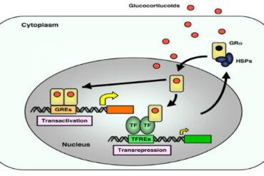 the glucocorticoid receptor