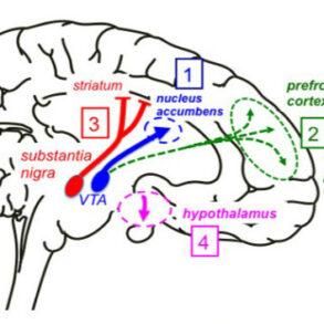 Cross-talk dopamine and innate immunity cover