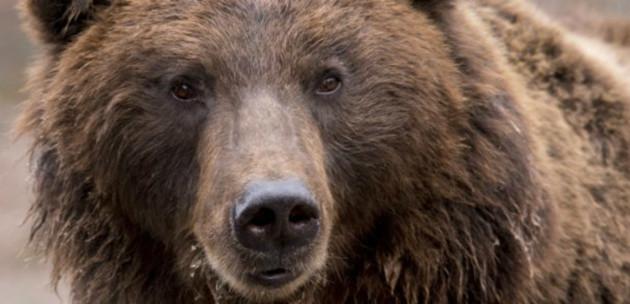 Lessons learned hibernating brown bears