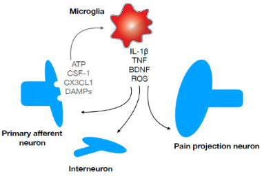 microglia gatekeeprs pain Fig.1