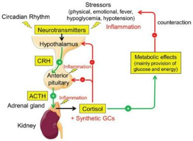 Figure 2 Neuroendocrine Immune Implications Rheumatoid Arthritis Polymyalgia Rheumatica