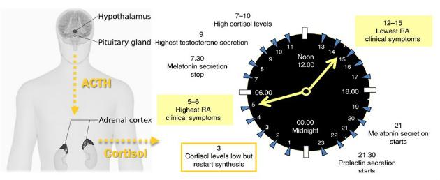 Figure 3 Neuroendocrine Immune Implications Rheumatoid Arthritis Polymyalgia Rheumatica