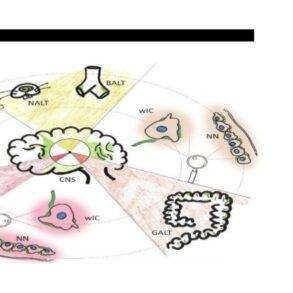 Neuro-Immune Synapses