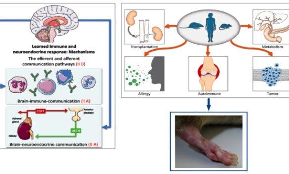 learned immunosuppressive placebo rat model arthritis