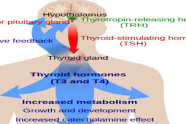 Thyroid Hormone Modulation of Immune Responses in Physiologic and Stressful Conditions