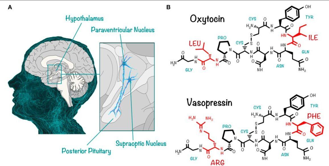 Neuroimmune Biology of Vasopressin