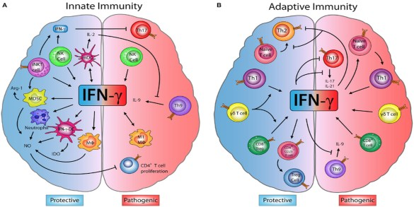 Interferon and the Central Nervous System