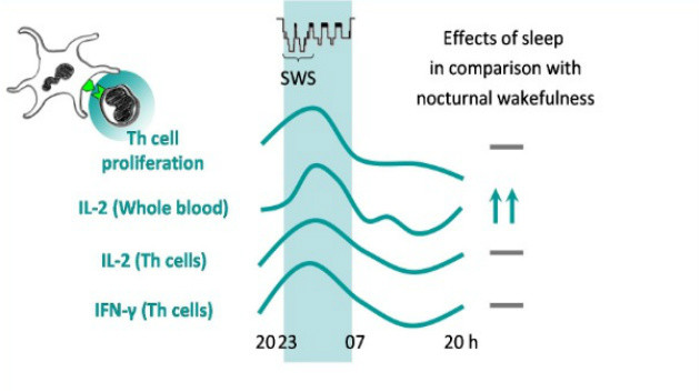 T Cell During Sleep