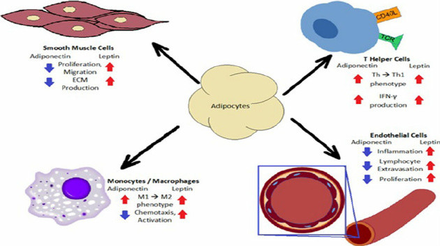 effects of adiponectin and leptin