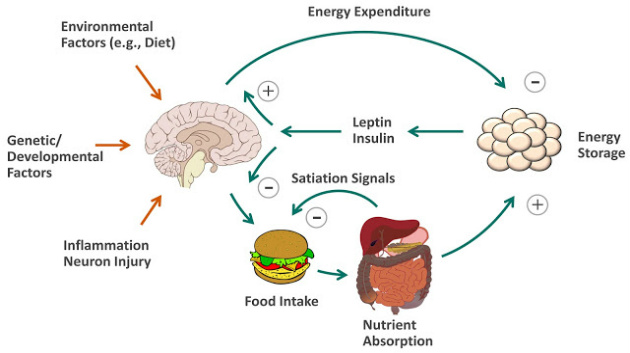 leptin's effects