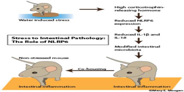 Corticotropin-Releasing Hormone's Inhibition Inflammasome