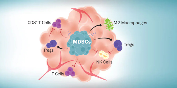 Accumulation Myeloid-Derived Suppressor Cells
