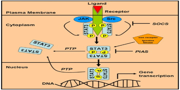 Chronic Stress and IL-10 STAT3 Pathway