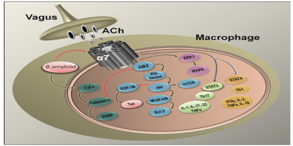 Therapeutic Potential of alpha7 Nicotinic Acetylcholine Receptor Agonists