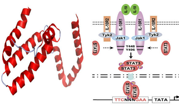 IL-10 and STAT3 stress