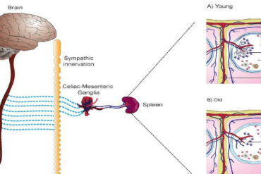 Sympathetic innervation and aging