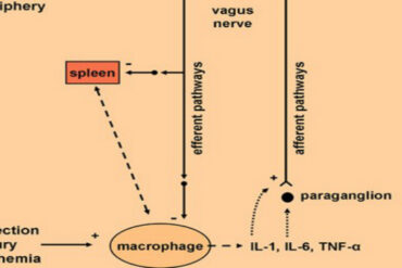 vagus and immune system