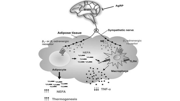 sympathetic nerves anti-inflammatory state