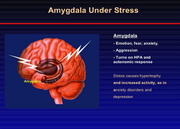 chronic stress induces shrinkage amygdala