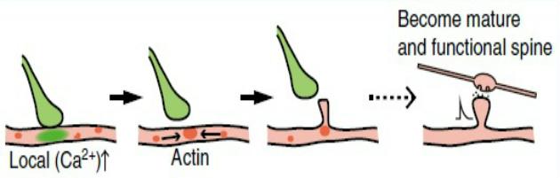 Microglial contact filopodia formation