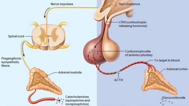 sympathetic-adrenal neuroimmune reflex